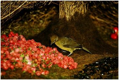 6. Беседковая птица
