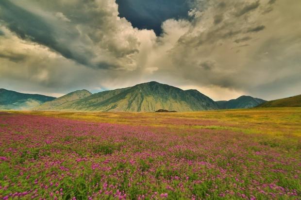 © Александр Антощенко Цветущие Алтайские луга