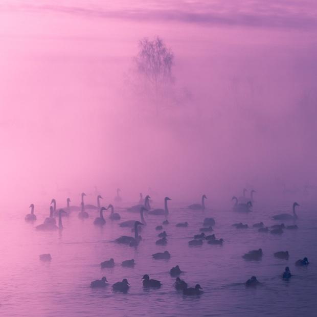 ©  Виталий Джазатор Зимовка уток и лебедей на Светлом озере